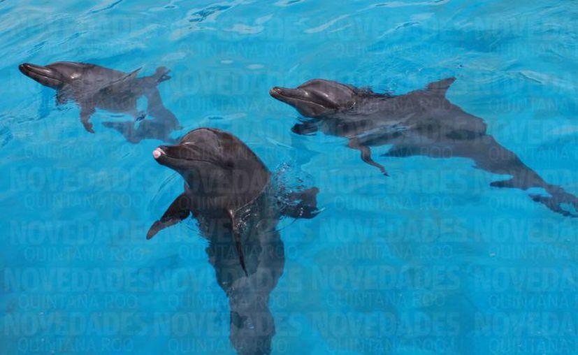 Es de 20 a 30 años el promedio de vida de los delfines en cautiverio. (Luis Soto/SIPSE)