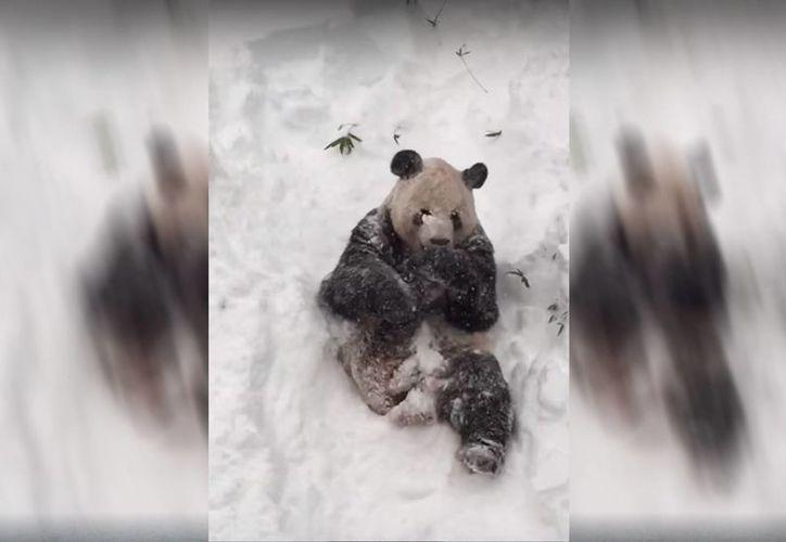 Tian Tian es una de las principales atracciones del zoológico de la capital de Estados Unidos. (Captura de pantalla/YouTube)