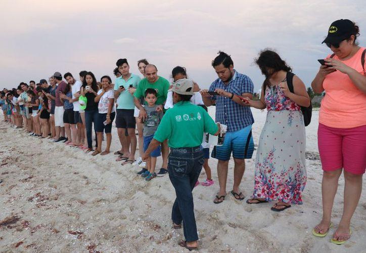 La actividad se realiza en diversos campos tortugueros situados por toda la costa yucateca, desde Celestún hasta El Cuyo. (Daniel Sandoval/Milenio Novedades)