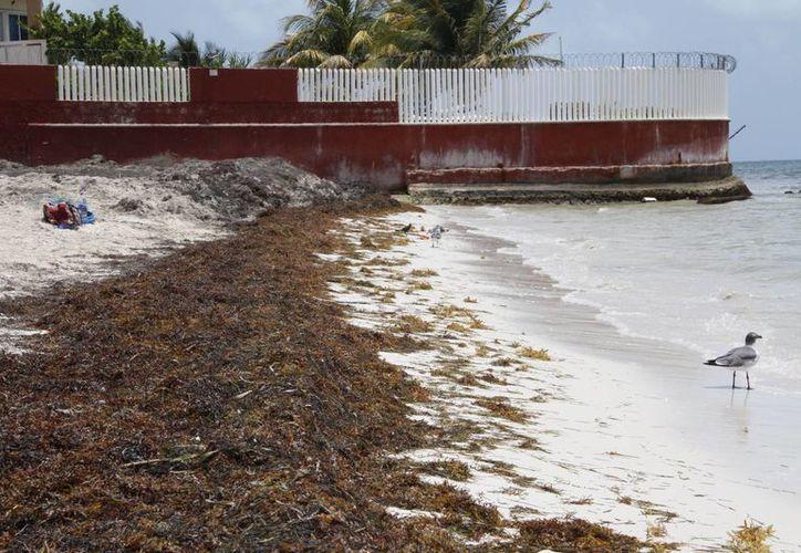 Ante las lluvias del fin de semana pasado, autoridades dejaron de recoger el sargazo tres días antes. (Tomás Álvarez/SIPSE)