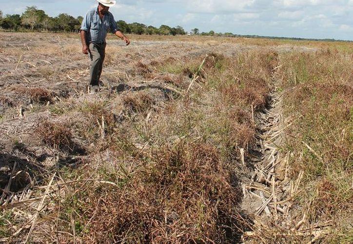 Para sembrar los hombres de campo deben invertir en fertilizantes, herbicida y algunos otros insumos que se necesitan, por ello si el ingenio no les da los apoyos muchos quedarán endeudados. (Edgardo Rodríguez/SIPSE)