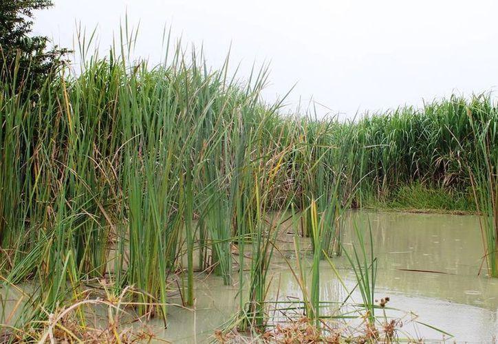 A consecuencia de las últimas lluvias, la humedad se ha elevado y provocado que la especie se reproduzca más rápido. (Edgardo Rodríguez/SIPSE)