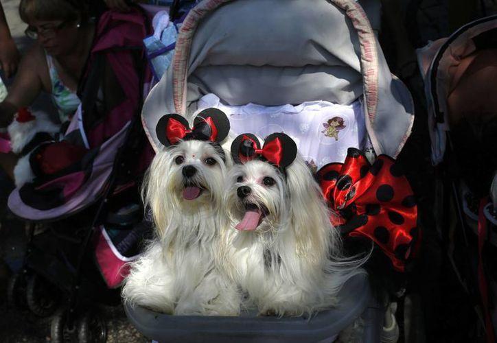 """Dos perros vestidos con trajes de carnaval son llevados por sus dueños a un """"bloco"""" de mascotas, una de las cientos de fiestas callejeras que se celebran en Río de Janeiro, Brasil (Agencias)"""