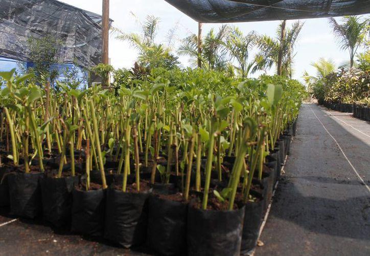 Prevén extraer hasta 900 plantas, las cuales serán trasladas a un vivero que es supervisado por académicos de la Universidad Autónoma de Yucatán. (Israel Leal/SIPSE)