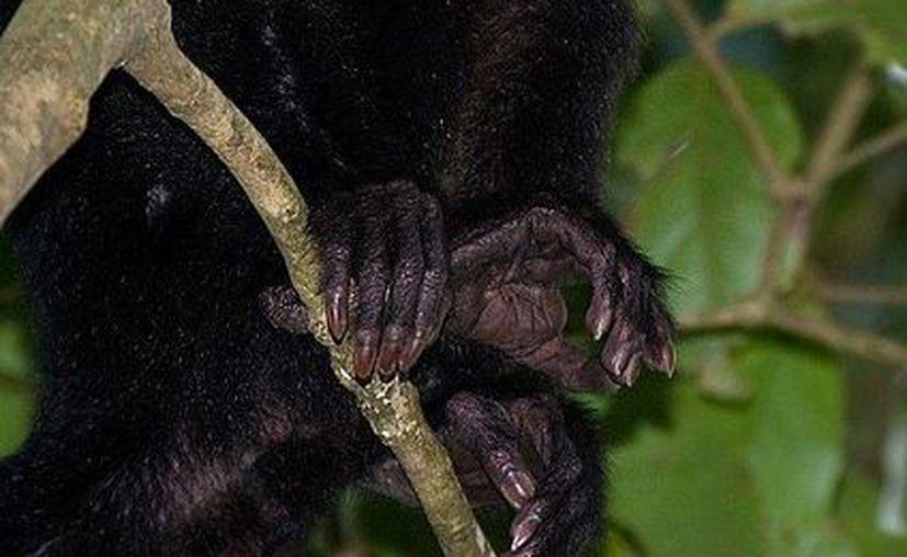 Se investiga la causa de muerte de varios animales en el Parque Centenario de Mérida, entre ellos la de monos capuchinos como el de la foto. (Milenio Novedades)