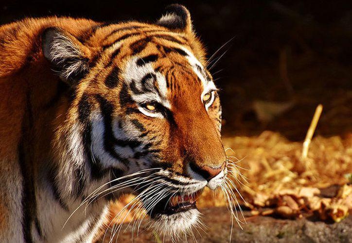 El tigre se distrajo un momento, lo que permitió a la trabajadora escapar y refugiarse en un cuarto cercano. (RT)