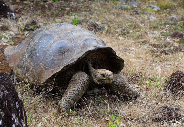 Las jóvenes tortugas que se liberarán en Santa Fe tienen entre cuatro y 10 años de edad. (Archivo/EFE)