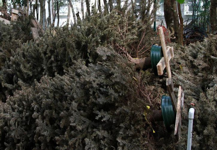 Se espera recolectar más pinos de Navidad. (Cortesía/SIPSE)