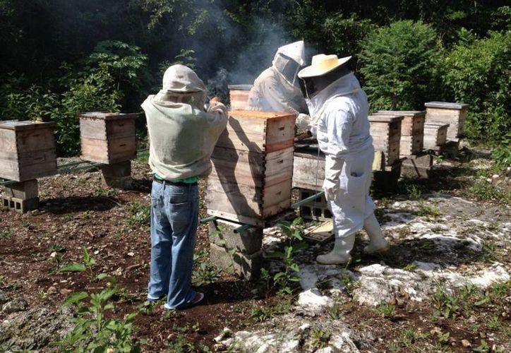 Buscan el mejoramiento genético de las abejas y la garantía de inocuidad en el manejo de la producción. (Joel Zamora/SIPSE)