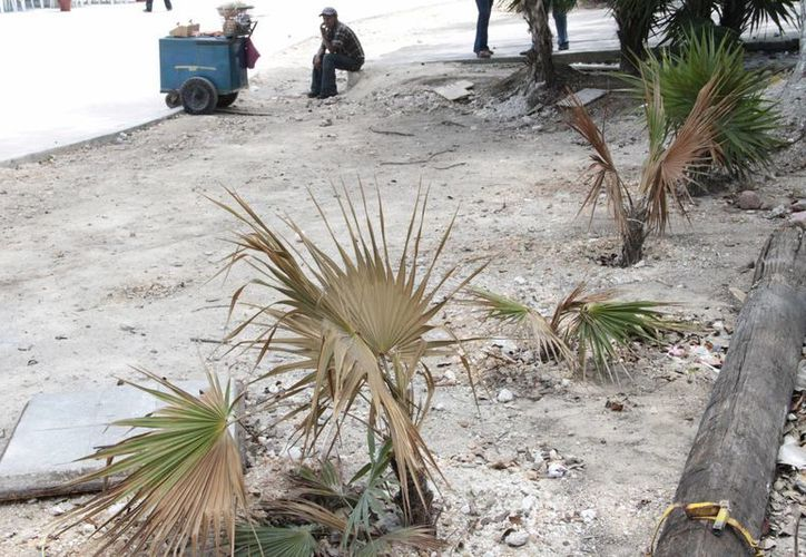 Existe la posibilidad de que algunas palmeras no sobrevivan. (Tomás Álvarez/SIPSE)