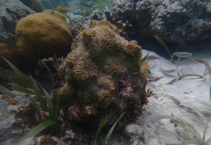 Corales duros recuperados de la zona de encallamiento. (Juan Palma/SIPSE)