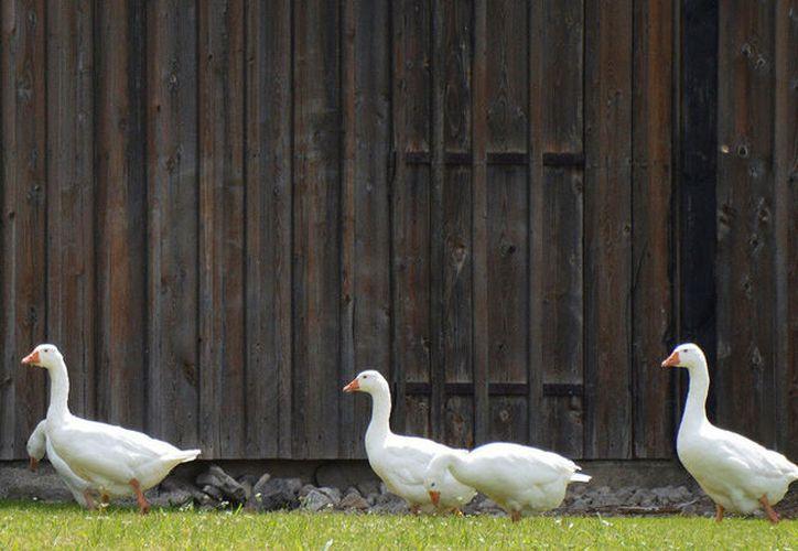 Jacob Berl, indicó que recogió 48 gansos blancos y tres gansos de Ross. (Pixabay)