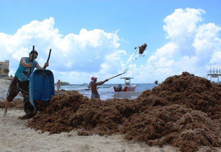 Trabajadores de Zofemat de Playa del Carmen retiraron el viernes con pala y carretillas el sargazo acumulado en una semana. (Octavio Martínez/SIPSE)