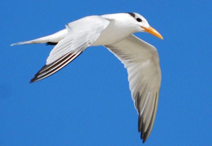 Durante este periodo los padres mantienen una vigilancia férrea de los nidos y polluelos. (Gustavo Villegas/ SIPSE)