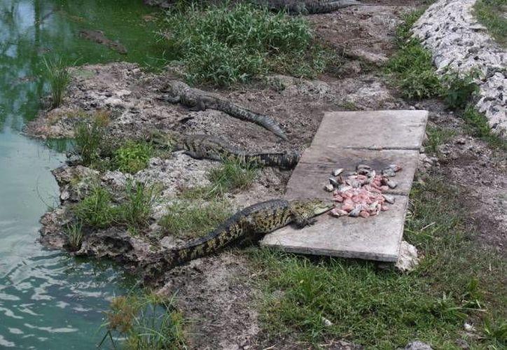 Habitantes de la localidad han tenido contacto visual con el lagarto de aproximadamente metro y medio de largo. (Foto de Contexto/SIPSE)