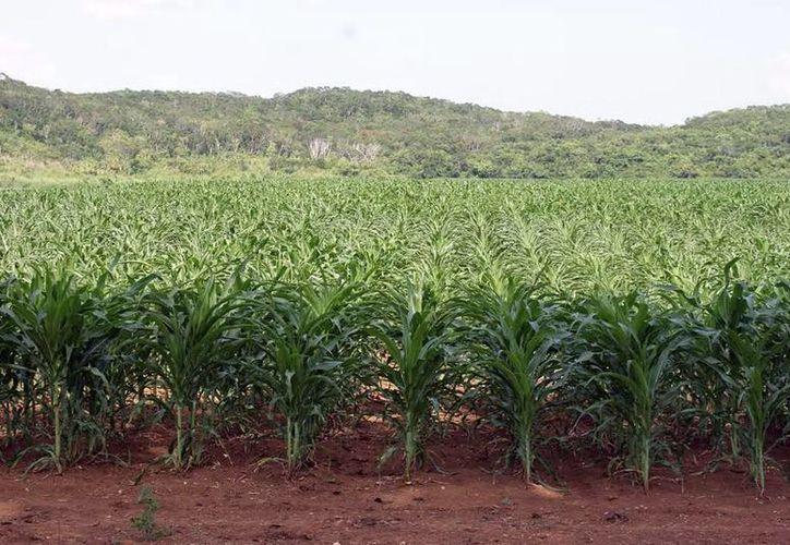 Programas como Proagro Productivo incentivan la producción en el campo yucateco. (Milenio Novedades)