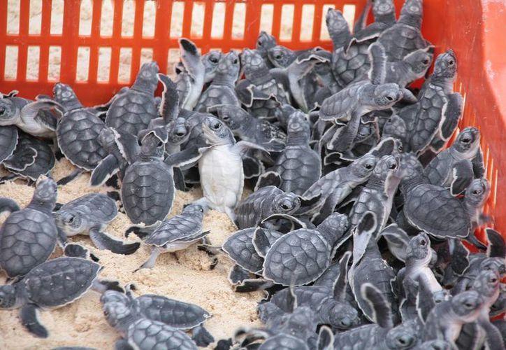 Ayer inició formalmente la temporada de anidación de tortugas en Cozumel, a la fecha se han ubicado 18 nidos.  (Gustavo Villegas/SIPSE)