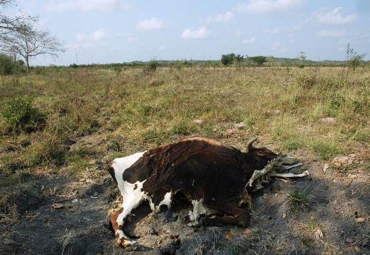 El seguro proporcionado por el Programa Ganadero cubriría los daños ocasionados por la sequía. (Edgardo Rodríguez/SIPSE)