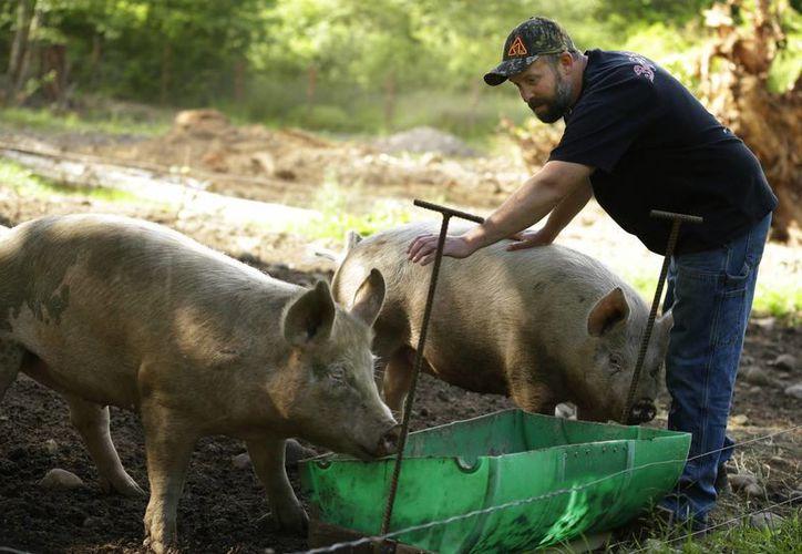 Cerdos en una granja propiedad de Jeremy Gross comen alimento elaborado a partir de una mezcla de residuos de trigo de la producción de vodka, pastillas nutritivas y hojas, tallos y otros suproductos de la marihuana medicinal. (Agencias)