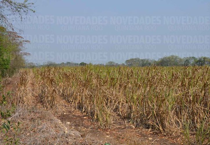 Es necesario que los productores presten mayor atención a los cultivos. (Juan Rodríguez/SIPSE)