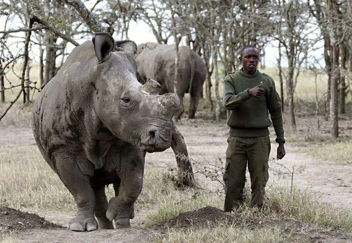 Fotografía cedida por el parque de conservación Ol Pejeta en Kenia, de Suni, uno de los siete rinocerontes blancos que quedaban en el mundo y que murió ahí a los 34 años. (EFE)