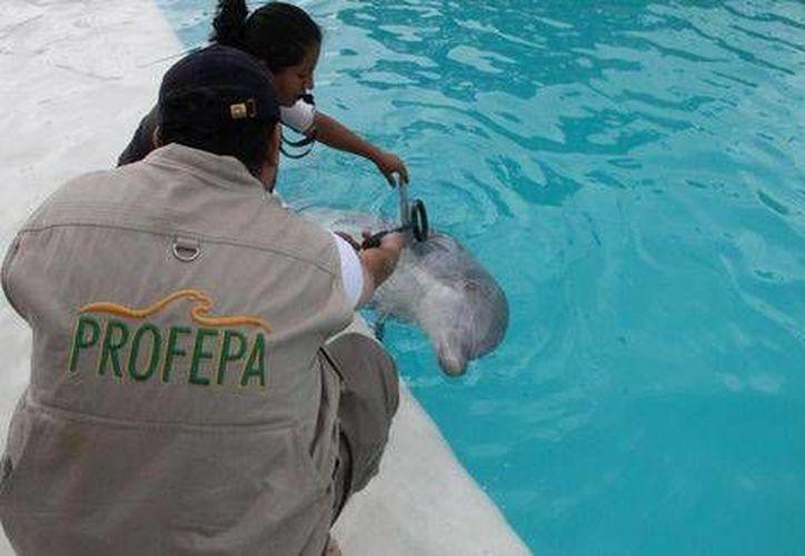 La autoridad ambiental verificó las instalaciones del delfinario Atlantis, donde se encontraban las especies catalogadas como 'Sujetas a protección especial'. (Milenio)