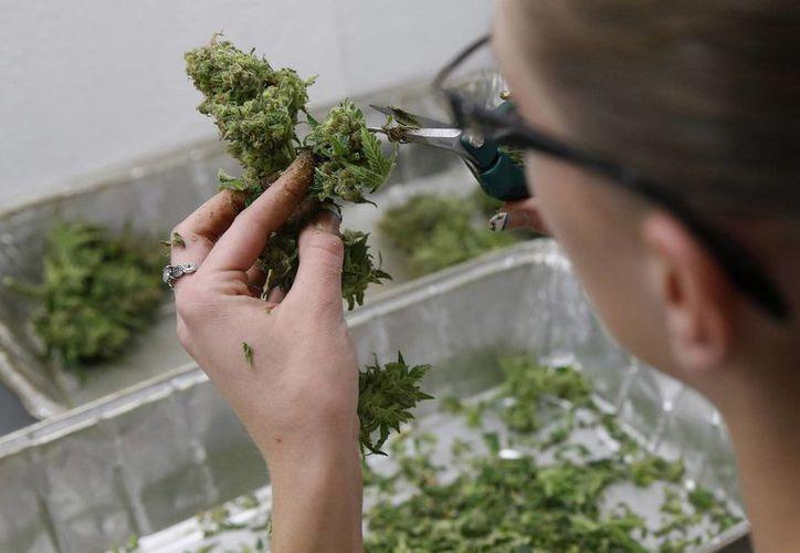 Desde cultivadores de marihuana médica hasta firmas de capital privado especializadas ven a México como una oportunidad para el comercio legal de la droga. (Agencias)