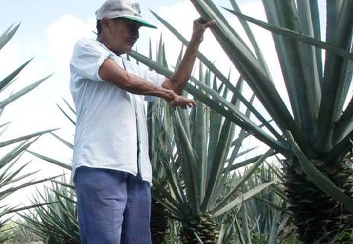 La planta empieza a recuperar su valor de producción. (Novedades Yucatán)