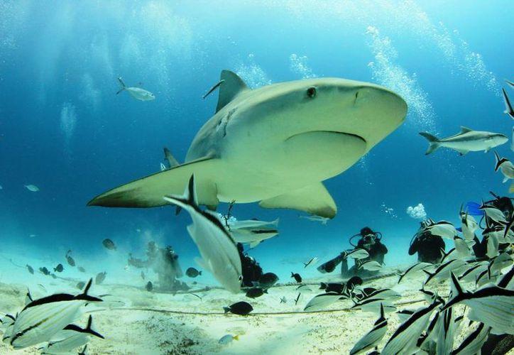 Saving Our Sharks en aras de la protección desde hace cinco años comenzaron a realizar estudios sobre las zonas geográficas en que se mueve esta especie. (Adrián Barreto/SIPSE)