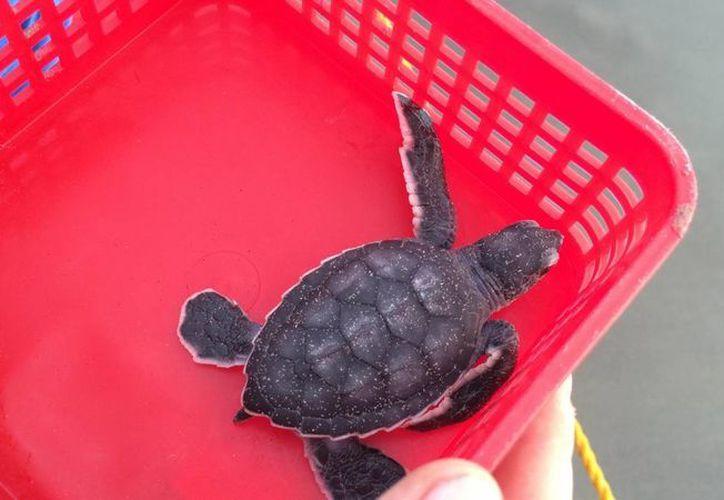 Decenas de tortugas iban ocultas en una maleta propiedad de una mujer procedente de Veracruz, quien fue detenida por no contar con los permisos para el traslado de los ejemplares. (Archivo/Notimex)