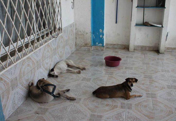 Se estima que cada hembra de estos animales llegaría a tener una descendencia de cinco mil 432 perros en ocho años, ya que en una camada de siete animales, por lo menos cuatro son hembras. (Harold Alcocer/SIPSE)