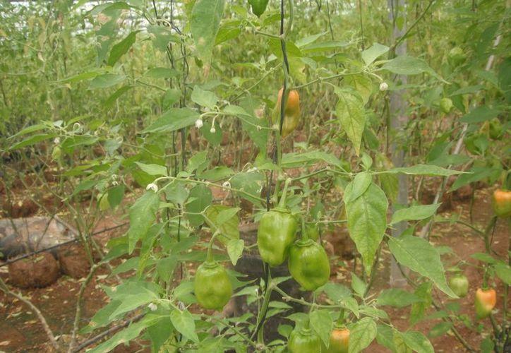 Fue mediante créditos que los invernaderos de la zona lograron cultivar tomate con éxito; en el caso del chile habanero, los productores tuvieron que emplear recursos propios. (Carlos Yabur/SIPSE)