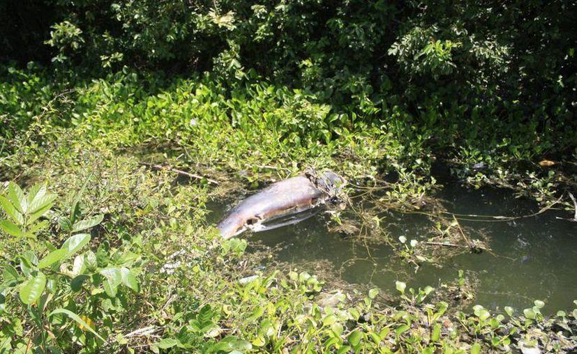 El 28 de enero del presente año recaló el primer delfín muerto, adulto de 2.20 metros de largo en la Bahía de Chetumal. (Harold Alcocer/SIPSE)