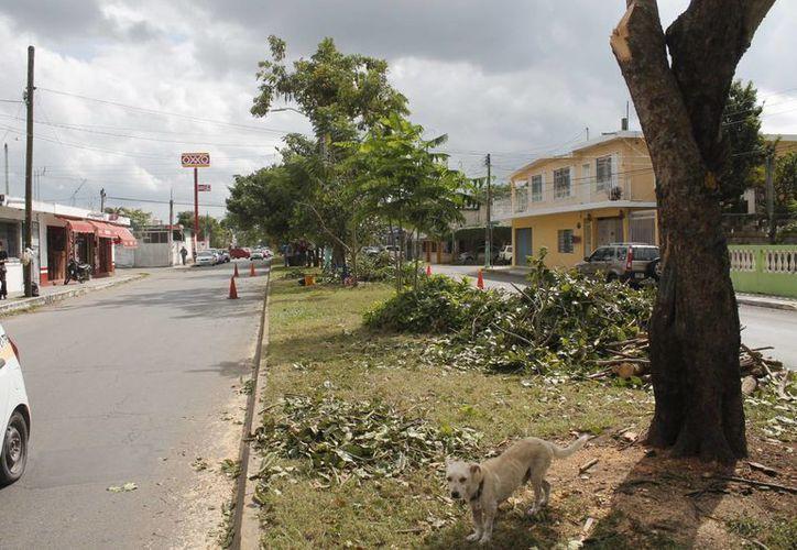 Este trabajo se obedece a especificaciones técnicas para no dañar a los árboles, mismos que no son derribados. (Harold Alcocer/SIPSE)