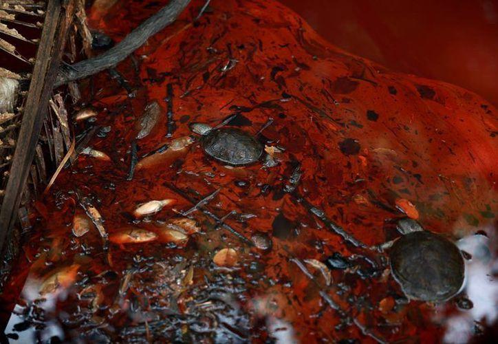 El petróleo crudo derramado por una fuga de Pemex en el Río Hondo de Veracruz está acabando con la fauna del lugar. (AP)