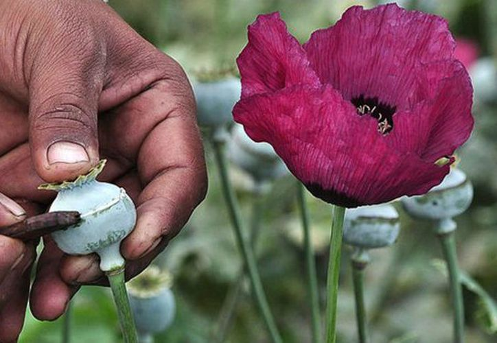 La ONU destaca que la producción de opio y heroína se ha incrementado en el mundo.  (Noticias en la mira)
