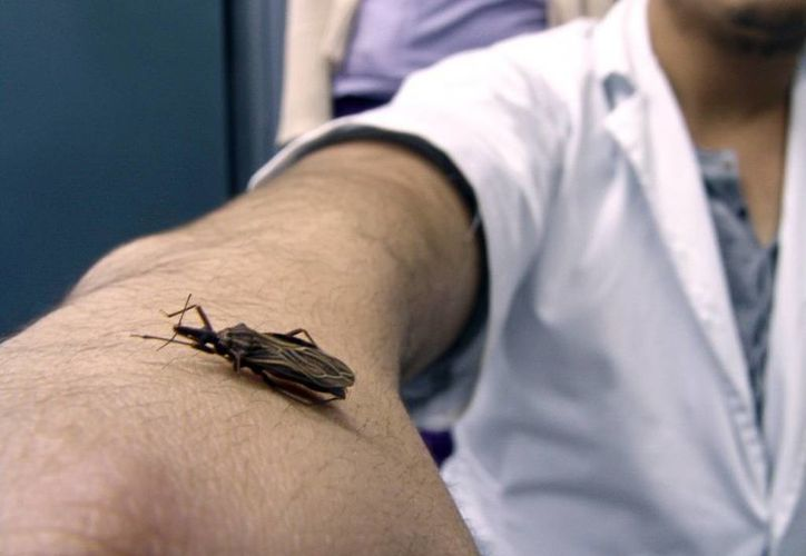 """El mal de Chagas es transmitido por un insecto conocido como """"pic"""": una chinche con alas amarrillas y negras que está en todos lados. (SIPSE)"""