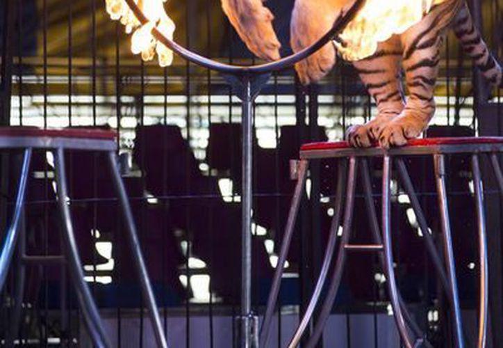 Un tigre realiza uno de sus ejercicios en el Circo Hermanos Fuentes Gasca en la Ciudad de México. (Agencias)