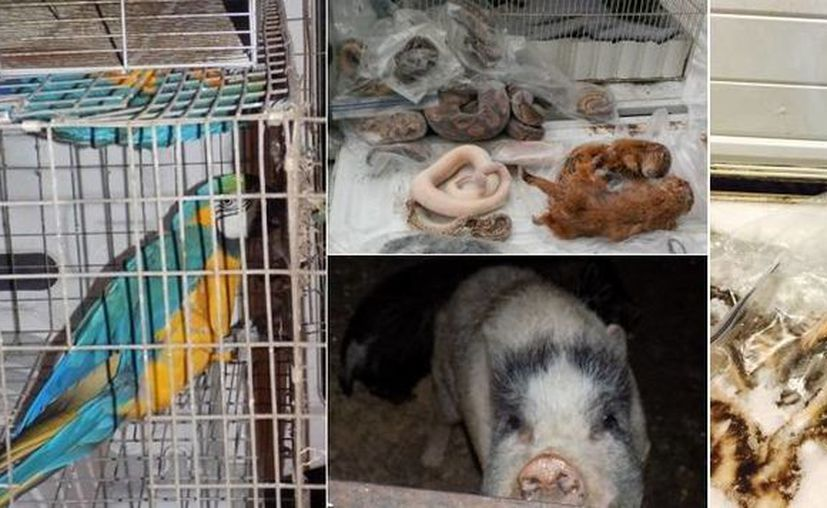 Algunos de los animales decomisados en Monterrey estaban congelados. (Profepa)