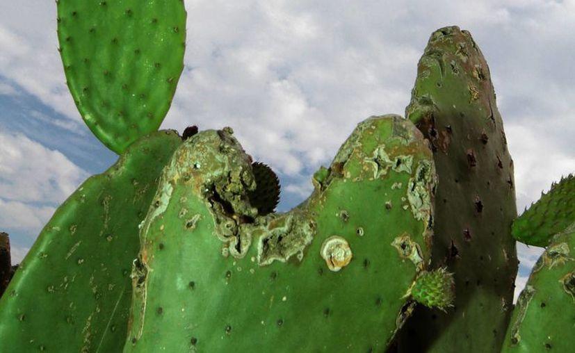 El nopal no solo es sabroso: también contiene una sustancia que puede ser utilizada para desarrollar un bloqueador contra los dañinos rayos ultravioleta. (Archivo/Notimex)