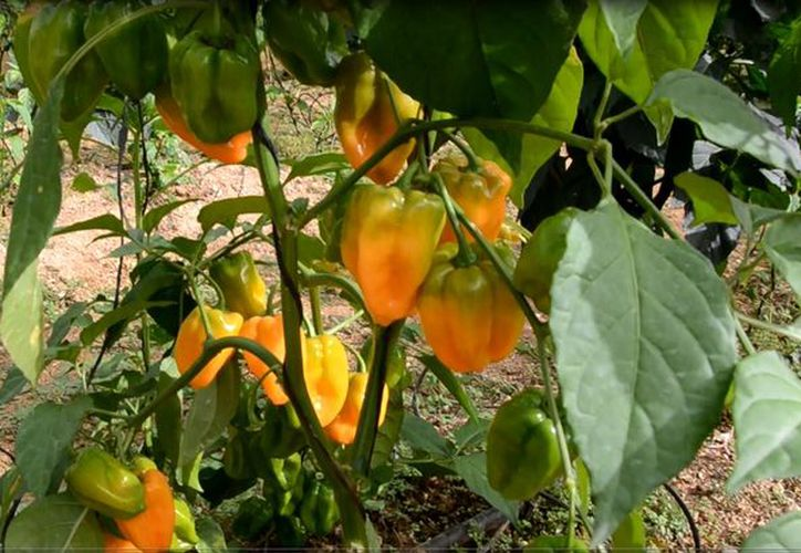 La venta del chile habanero ha demostrado ser redituable para los productores. (Foto: Juan Rodríguez)