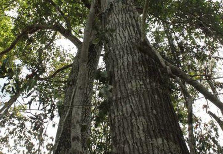 Los programas entran en el rubro del aprovechamiento sustentable de los ecosistemas forestales. (Archivo/SIPSE)