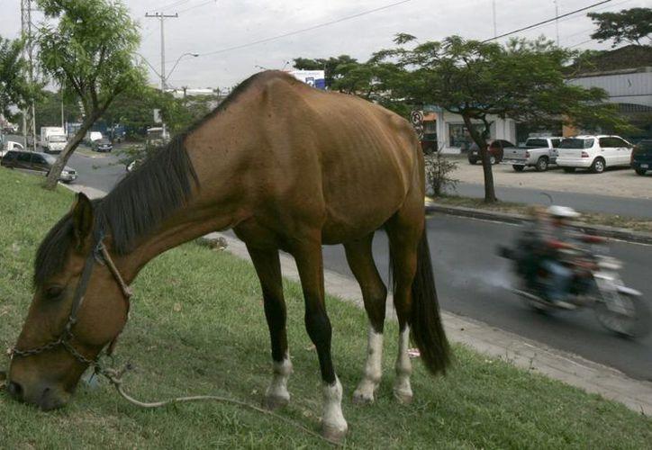 Los animales trabajan entre la contaminación y el ruido de la ciudad de Asunción. (Agencias)