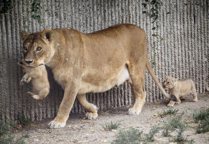 Fotografía de una leonesa con sus crías en el zoo de Copenhague, Dinamarca. (Archivo/EFE)