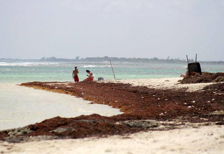 Las autoridades retiran 50 toneladas de sargazo al día de las playas de Mahahual. (Harold Alcocer/SIPSE)