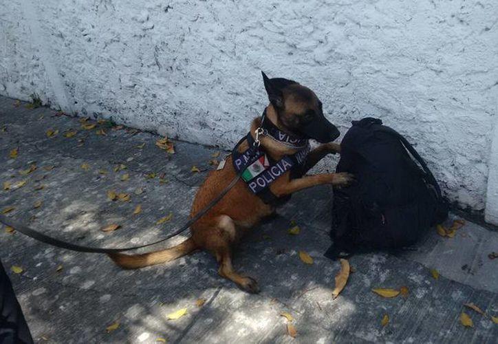 El agente canino 'Troya' detectó la droga en el morral. (Milenio Novedades)