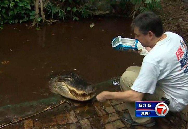 David Van Buren alimenta a su cocodrilo 'Gwendolyn' en el patio de su casa, en Miami, Florida, EU. (Foto: www.nydailynews.com)