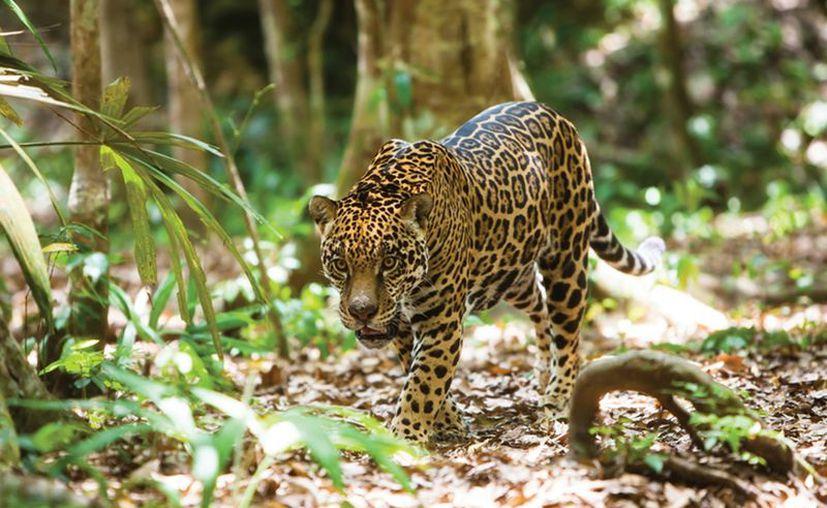Según el 'censo del jaguar', en México hay unos cuatro mil ejemplares, de los cuales 1,850, viven en la península de Yucatán. (Notimex)