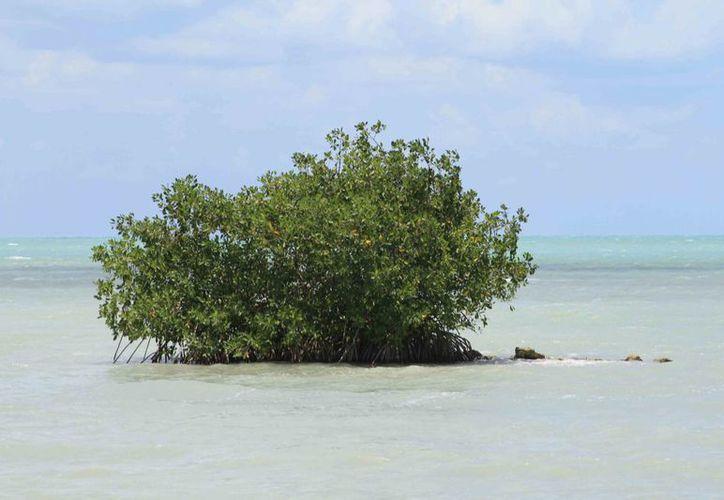 Quintana Roo es uno de los estados más privilegiados en humedales y manglares en México. (Harold Alcocer/SIPSE)