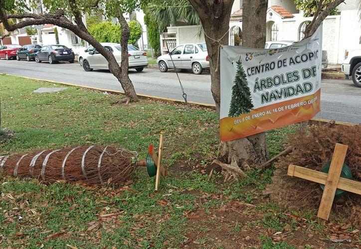 La gente no respetó las normas y dejó los pinos completos. (Jesús Tijerina/SIPSE)